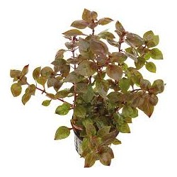 Songrow Ludwigia sp. super red