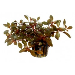 Songrow Ludwigia repens rubin