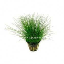 Songrow Elocharis parvula