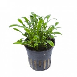 Songrow Cryptocoryne parva