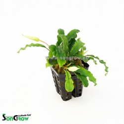 Songrow Bucephalandra species
