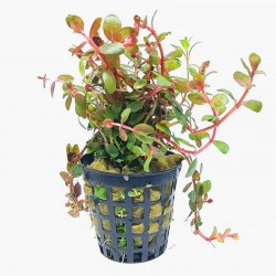 Songrow Rotala rotundifolia